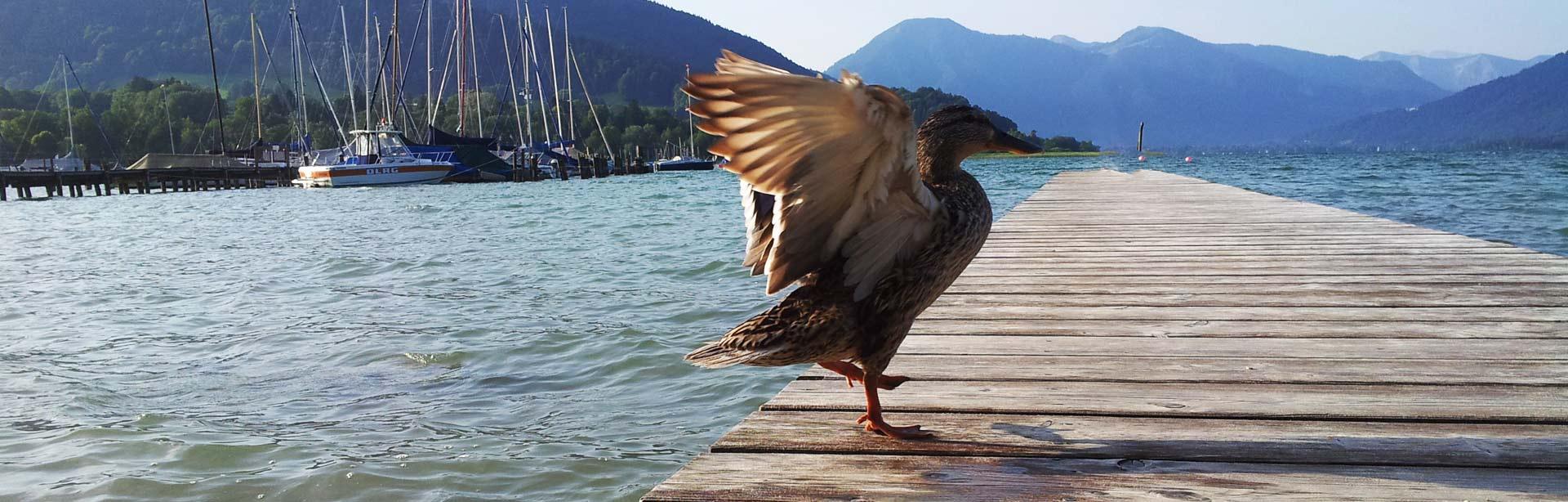 Bild Ente am Tegernsee